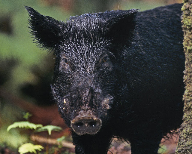 Throughout history humans have preferred their pigs to be black, suggests study