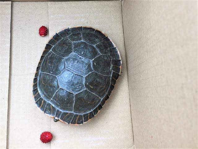 Wasserschildkröte - Zierschildkröte