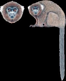 Beni titi monkey