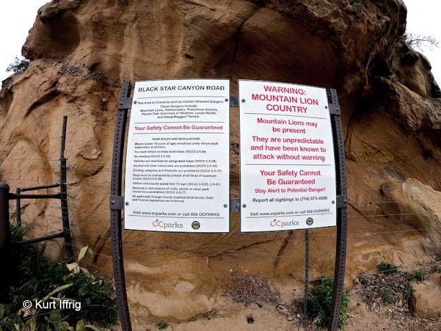 There are two known mountain lions that roam the area leading to Black Star Canyon.