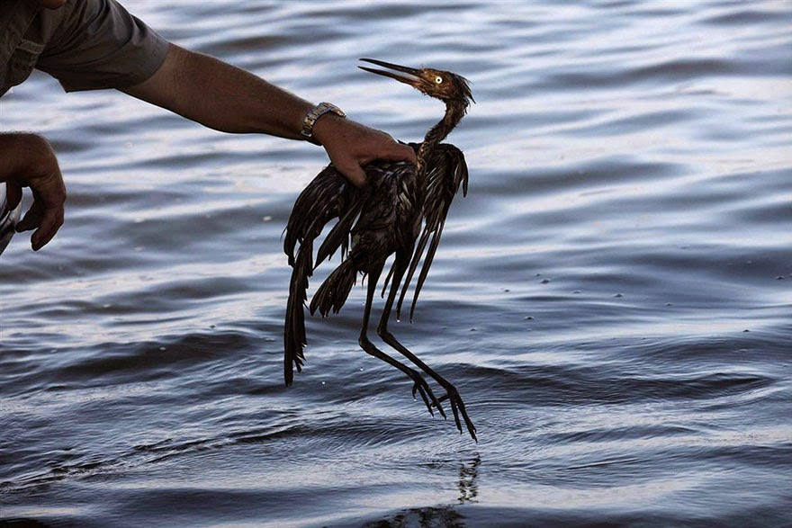 You Will Want To Recycle Everything After Seeing These Photos! - Bird In Oil Spill