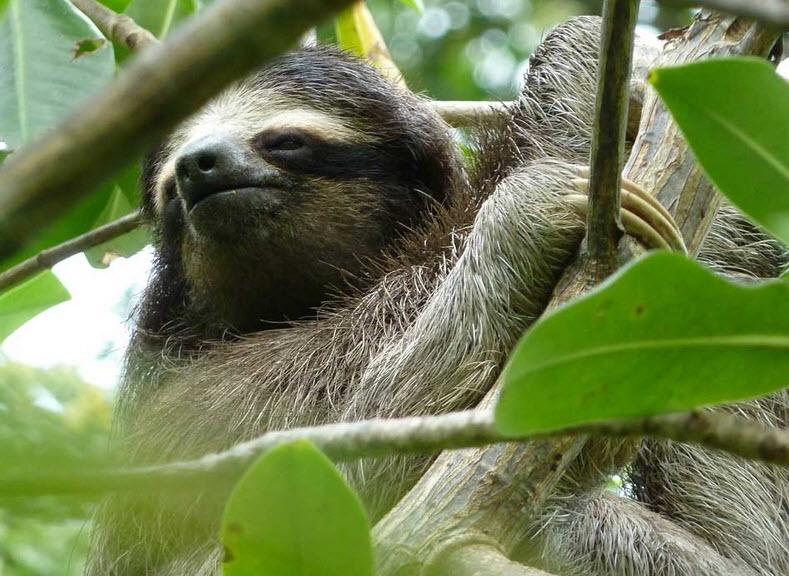Three Toed Sloth Teeth