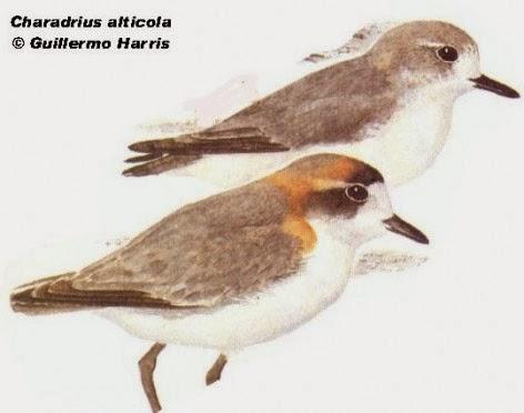 Chorlito puneño: Charadrius alticola