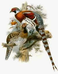 Elliot´s Pheasant