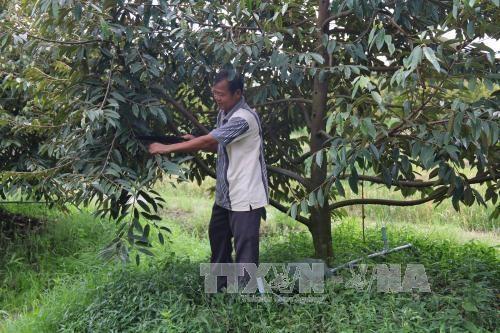 sầu riêng được trồng ồ ạt