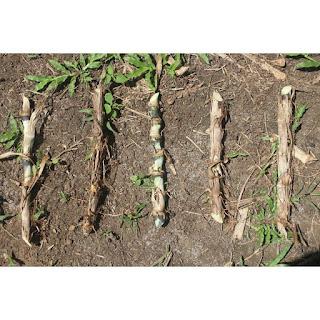 gambar bibit Rumput Gajah Kerdil atau odot (Pennisetum Purpureum Cv Mott)