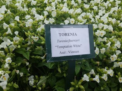 Torenia Temptation White one of vietnamese flower collection