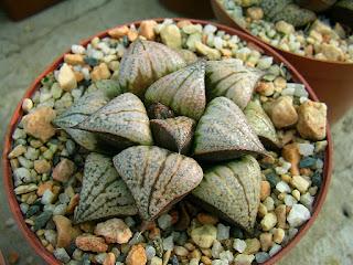 Haworthia splendens var masai - GM 447
