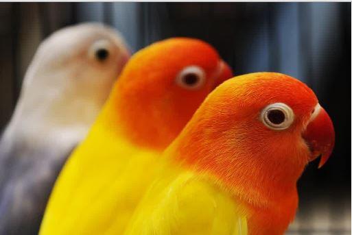 Lovebird Ngeruji