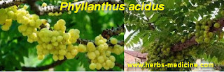 Herbal medicine for cough use Phyllanthus