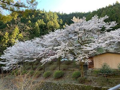 駐車場付近の桜