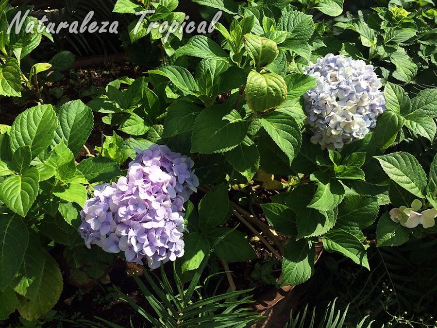 Hortensia florecida, género Hydrangea