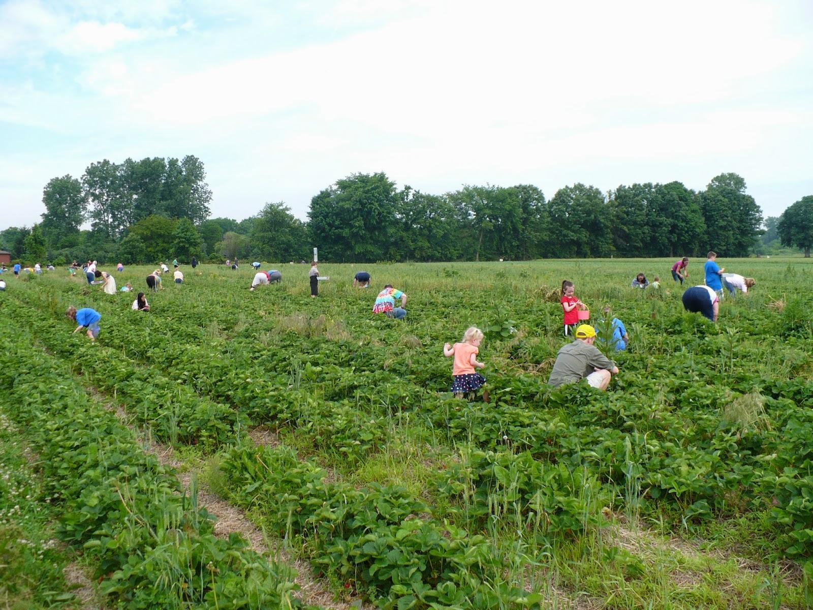 Strawberry Picking At Rowe S Produce Farm And Strawberry Freezer Jam Recipe Brooke Romney Writes
