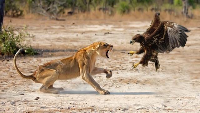 Pertarungan Seru Hewan-hewan di Alam Liar