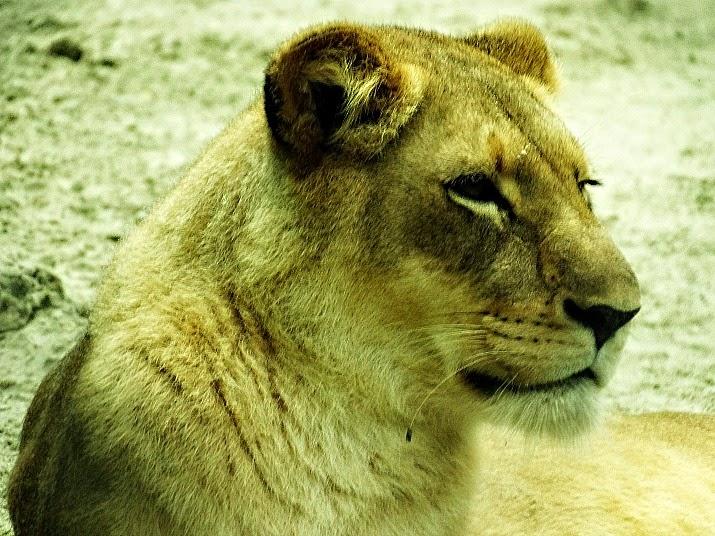 Assim como o leão, a leoa parecia desinteressada