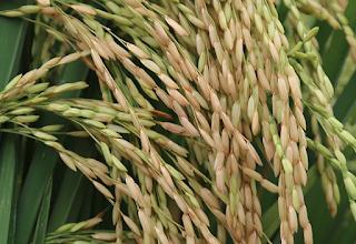 varietas inpari 32, padi inpari 32, cara tanam padi inpari 32, pemupukan padi ipari 32, perawatan padi inpari 32, kualitas padi inpari 32, umur padi inpari 32