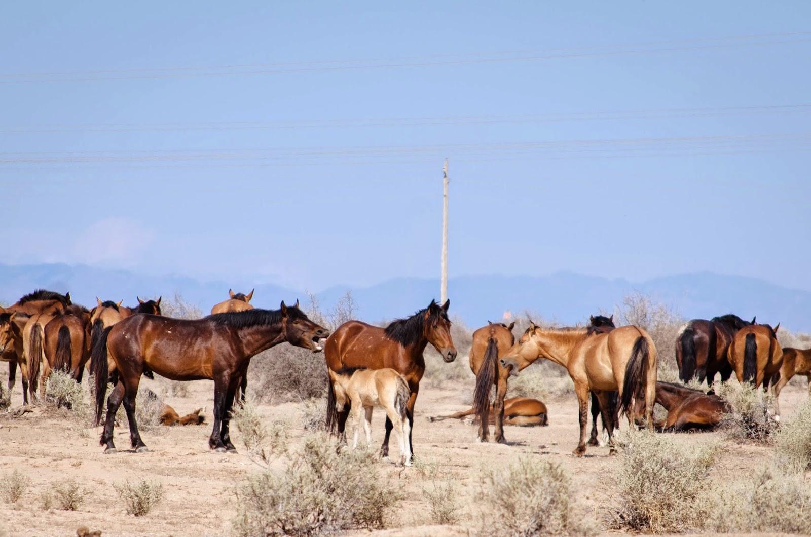 wild horses maricopa
