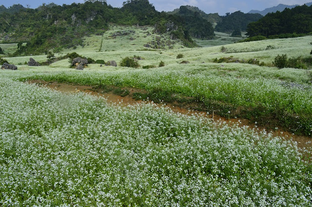 December - The season of white Cauliflower blooms on Moc Chau Plateau 1