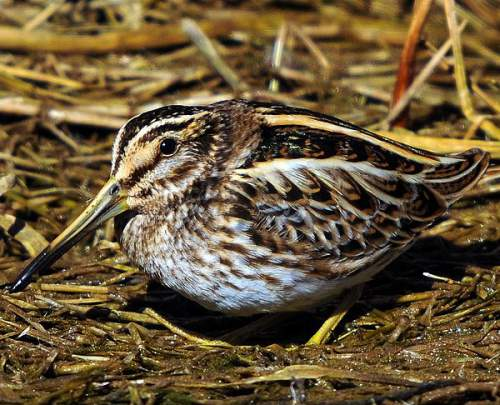 Indian birds - Picture of Jack snipe - Lymnocryptes minimus