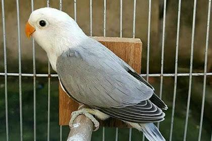 Inilah Penyebab Love Bird Serta Burung Lainnya Berdada Nyilet