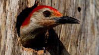 Woodpecker bird photos_Melanerpes erythrocephalus