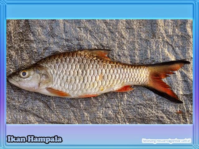 gambar ikan hampala