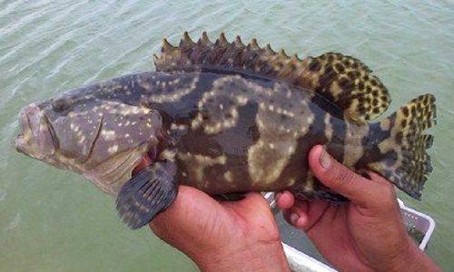 Pendederan Ikan Kerapu