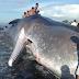 Gambar Ikan Paus Mati Terdampar Di Pantai Bali