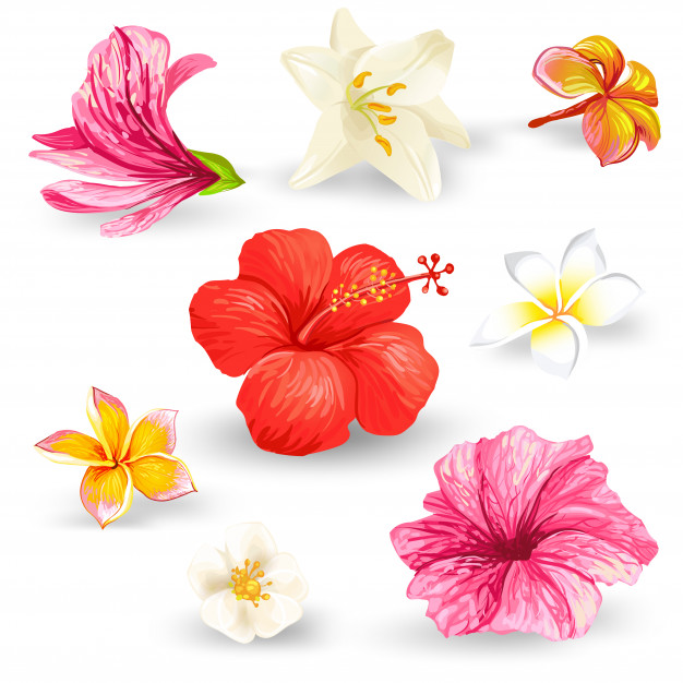 Set of illustrations of tropical hibiscus flowers. Free Vector