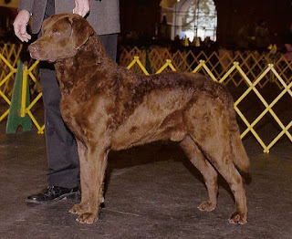 Chesapeake Bay Retriever-ptets-dog breeds