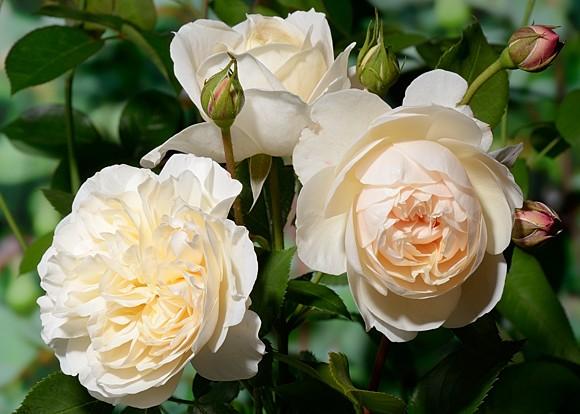 Lichfield Angel роза сорт фото