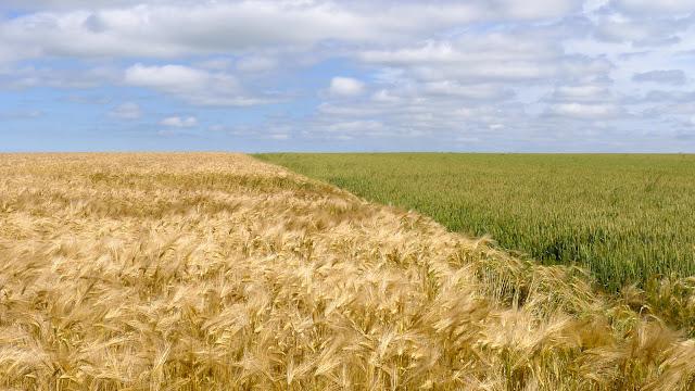 Tour de la Beauce en vélo couché  champs de blé