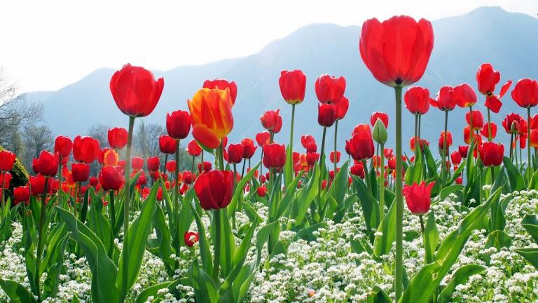 Tulips Flowers HD Wallpaper 11