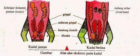 Sistem Ekskresi Hewan Vertebrata Dan Avertebrata Artikelsiana