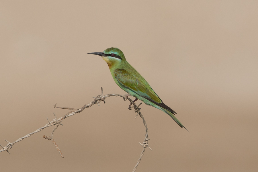 Blue-cheeked Bee-eater – Jubail