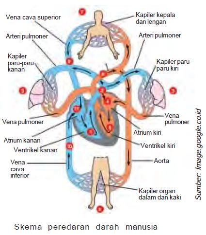 Fungsi Jantung Struktur Cara Kerja Jantung Denyut