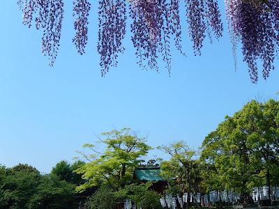 鶴岡八幡宮のフジ
