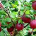 Este considerat cel mai puternic fruct din lume. Este plin de antioxidanti si are de 20 de ori mai multa vitamina C decat sucul de portocale