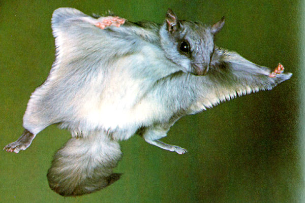 The News For Squirrels: Why Did The Flying Squirrel Cross ...