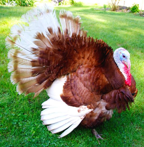 Fertile Bourbon Red and Blue Slate Turkey Hatching Eggs 8