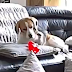Ce chien échappe son jouet du sofa et il réagit comme si c'est la fin du monde