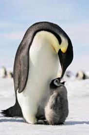 6 Fakta Unik Tentang Pejantan Penguin Dalam Menjaga Anaknya