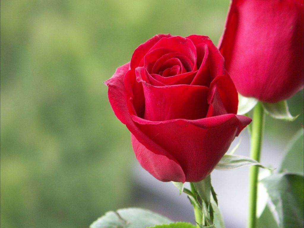 wallpaper flower rose love hd