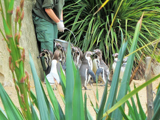 Dublin Zoo Penguins Feeding