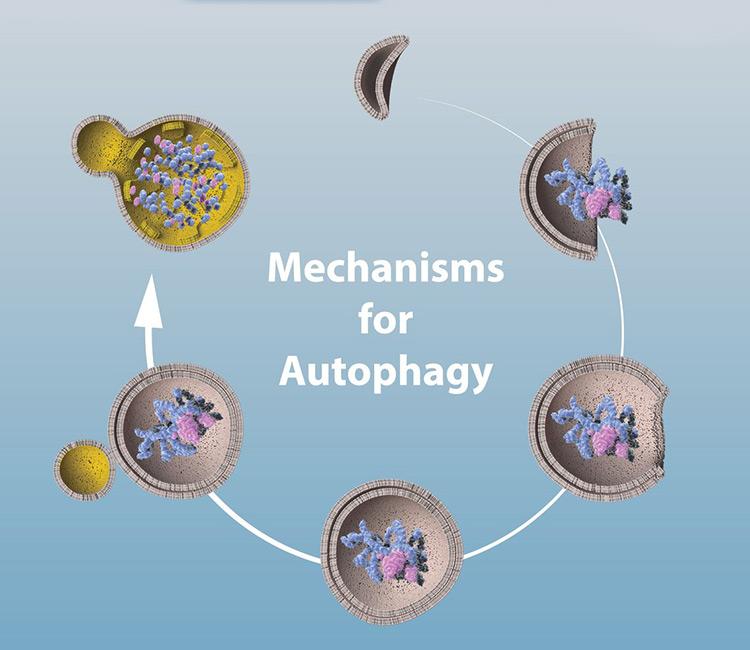 Mechanisms-for-autophagy-nobel-prize-2016