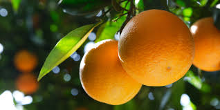 Benefits And Efficacy Citrus Austalia For Health - Healthy T1ps