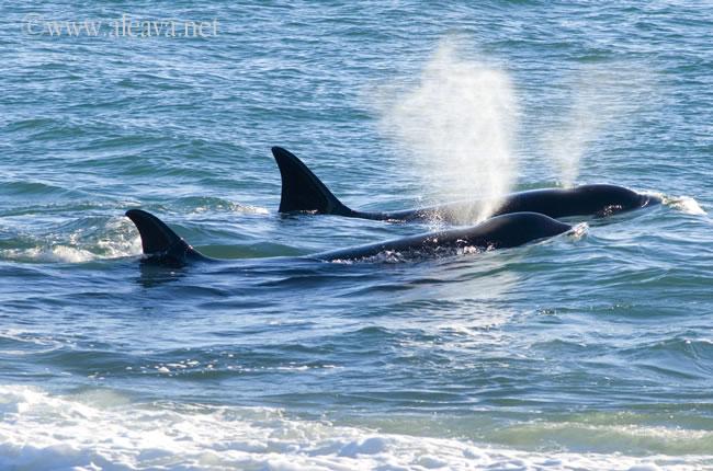 orcas in Valdes Peninsula Argentine Patagonia