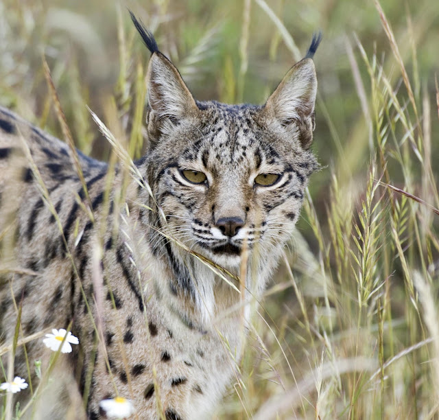 Scientists sequence the genome of the Iberian lynx, the most endangered feline