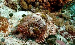 ikan beracun stonefish