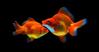 cara membedakan ikan hias mas koki jantan dan betina